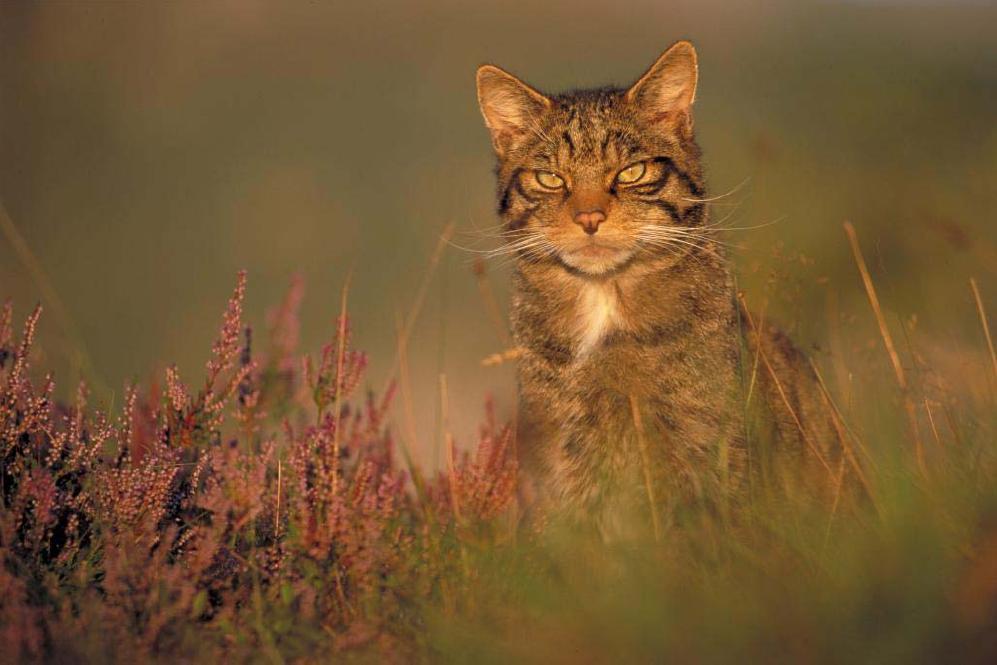 pisica_salbatica